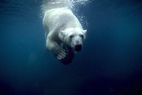 Polar bear swimming in ocean - photo#50