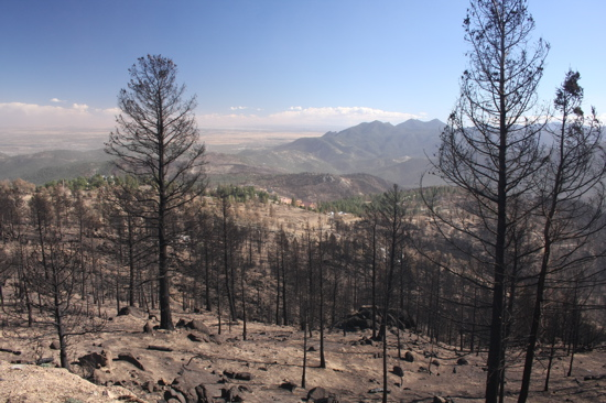 Patches of burned and unburned trees, from Sunshine Canyon Drive